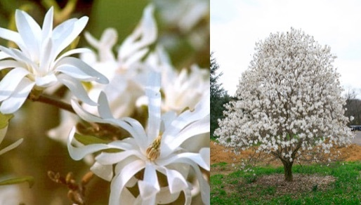Magnolia stellata royal star stonepocket know what you grow common name royal star magnolia description deciduous small tree with a round crown noted for its star shaped white flowers in spring mightylinksfo