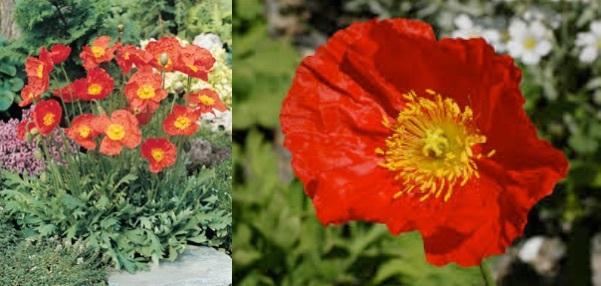 Papaver nudicaule champagne bubbles red stonepocket know what common name icelandic poppy description drawf poppy with large red crepe like flower head and yellow stamens hairy stem and blue green basal leaves stems mightylinksfo