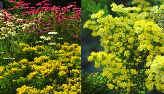 Solidago dansolitlem stonepocket know what you grow botanical name solidago dansolitlem common name little lemon goldenrod description compact form of goldenrod is a clump form tiny yellow flowers bloom in mightylinksfo
